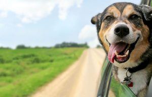 dog-riding-in-car-pet-legal-issues